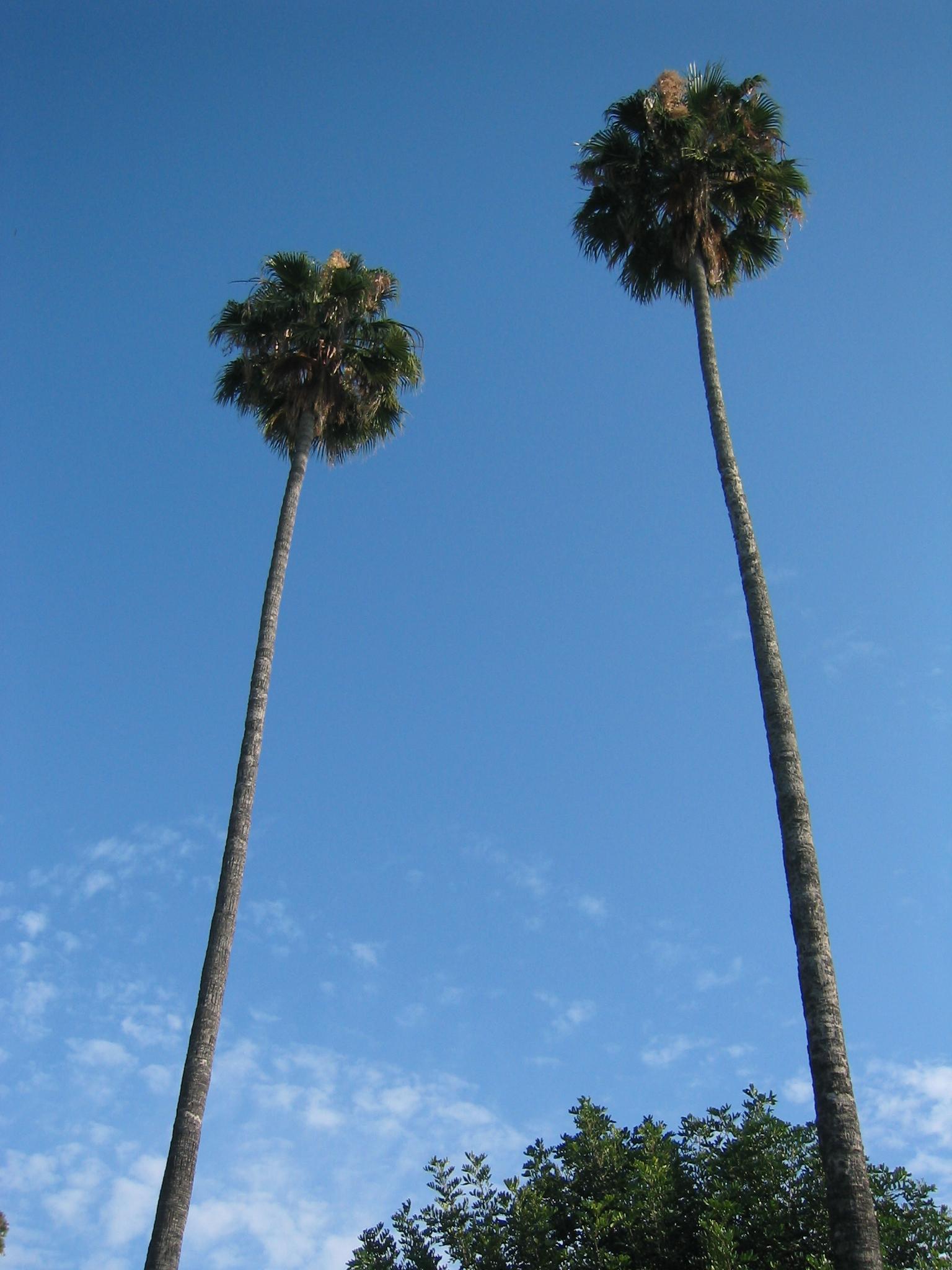 007 sun la two tall trees